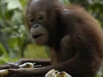 Orang-utan in Borneo. Copyright: WLT