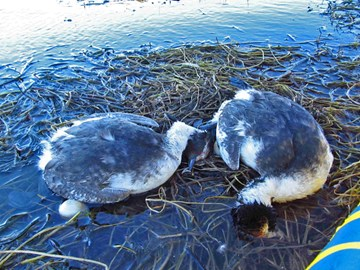 Hooded Grebes slaughtered by alien Mink
