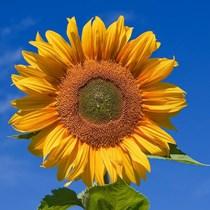 Sunflower Seed Preschool