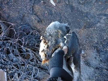 A dead Zinos Petrel after the fire.