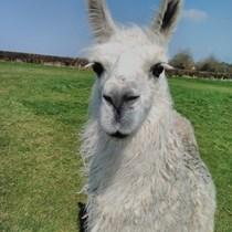 Penny Llamas