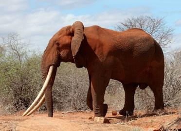 Red Tsavo 'hundred pounder' bull