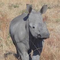 Let Rhinos Roam Free