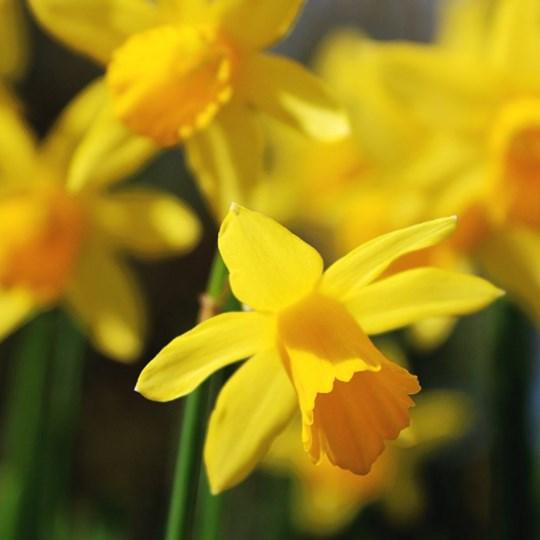 Anne's Reiki Healing Fundraiser for Daffodil Day