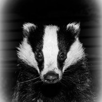 High Peak Badger Group