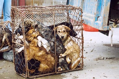 Dogs waiting to be slaughtered