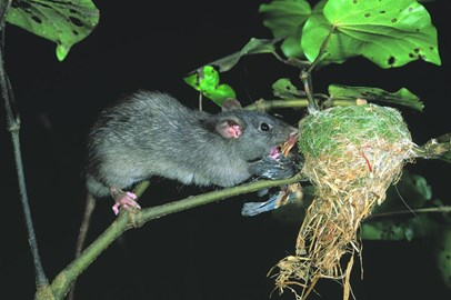 Black rat eating a New Zealand Fantail.