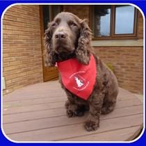 Spaniel Aid UK