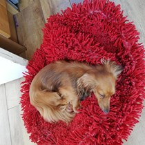 Lola The Miniature Dachshund